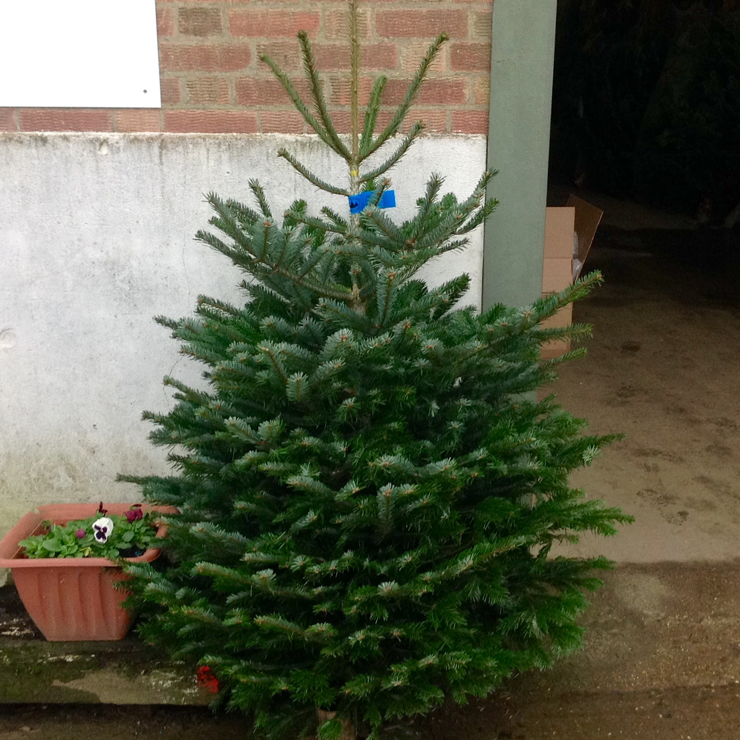 Christmas Tree Not Taking Water.Stanhill Farm Christmas Trees Stanhill Farm
